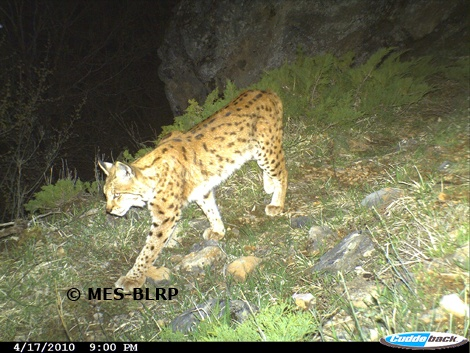 Foto: Macedonian Ecological Society – Balkan Lynx Recovery Programme