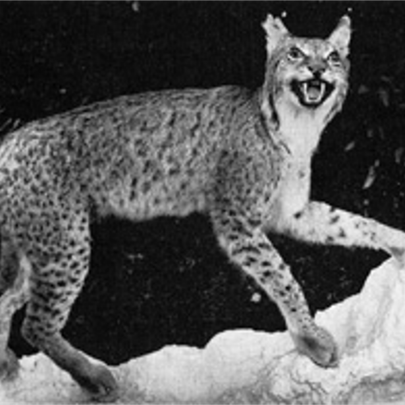 Muzej Kosova, Priština, vir: Ð. Miric (The Lynx populations of the Balkan peninsula, 1981)